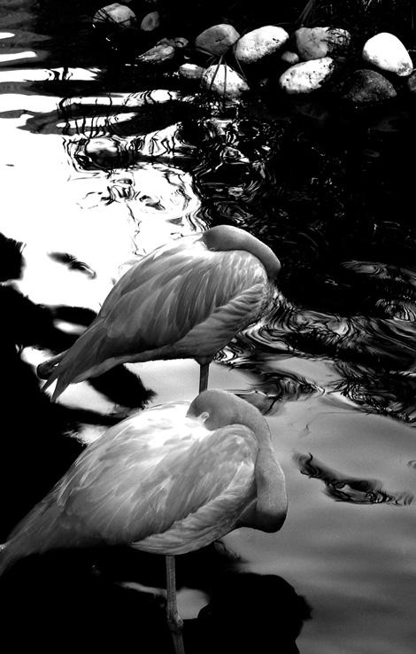 flamingos_bw
