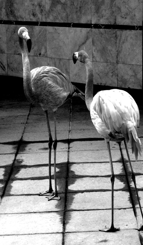 flamingos_bw2
